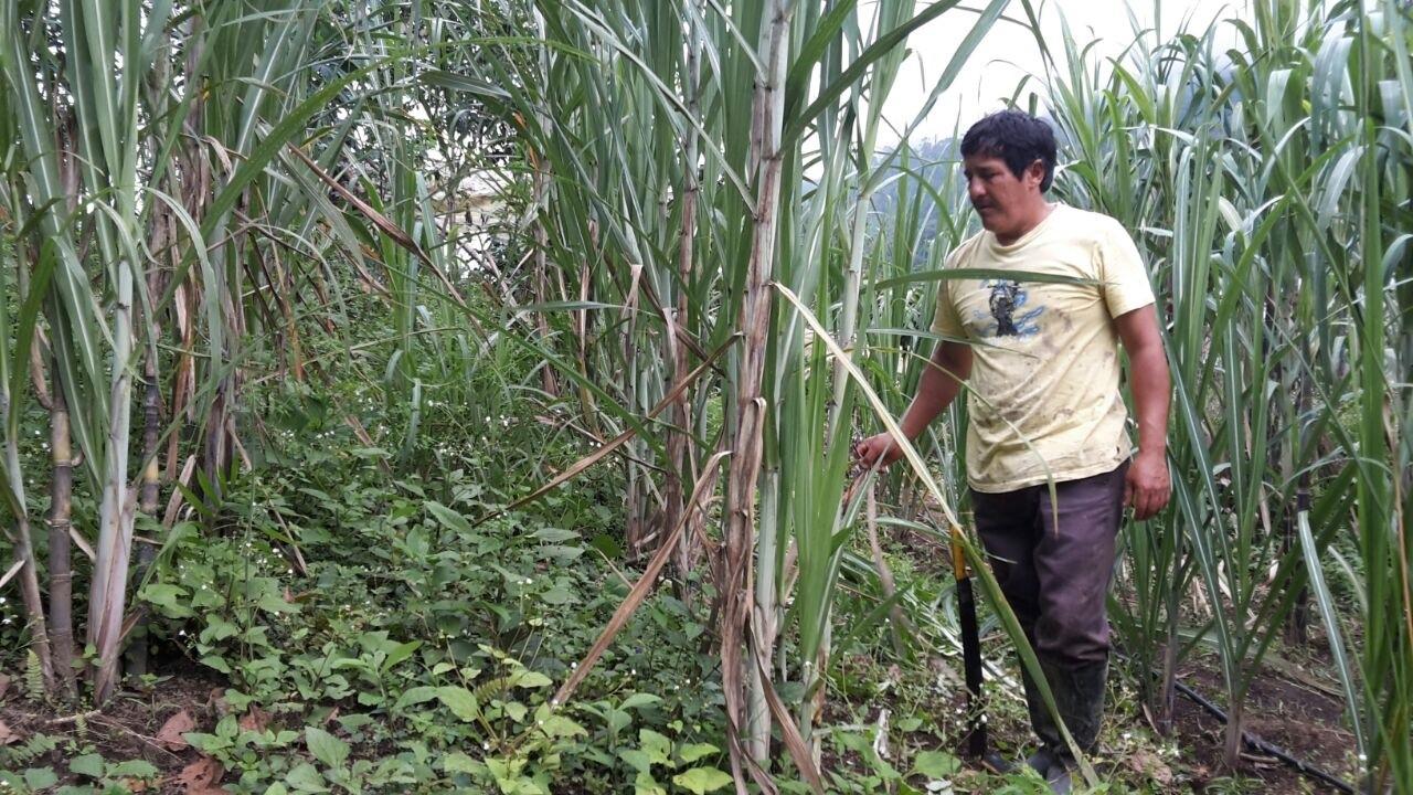 Proyecto Caña de Azúcar en Ecuador
